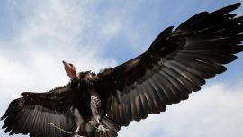 Massive Amount of Critically Endangered Vultures Killed in Botswana