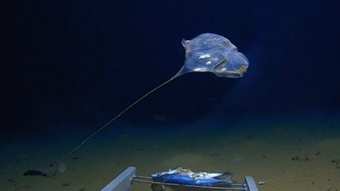 Is This a New Type of Jellyfish in the Indian Ocean?