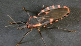 'Kissing Bug' Bites Girl in the Face in Her Bedroom