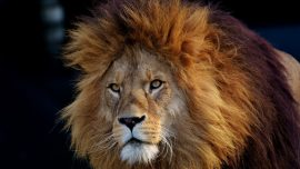 Man Mauled to Death by 3 Lions in Enclosure, All Lions Shot Dead