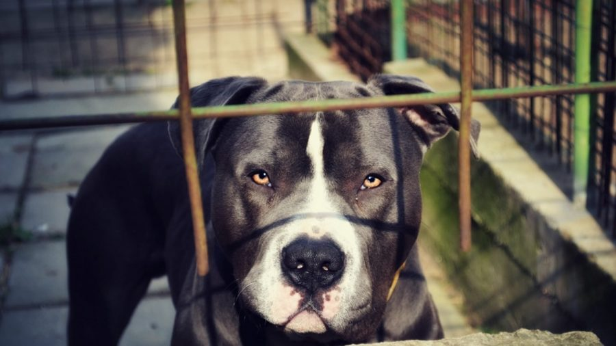 Pit Bulls That Killed 29 Cats at Alabama Shelter Were Euthanized