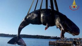 Pregnant Whale Washed Up on Shore Had 48 Pounds of Plastic in Stomach
