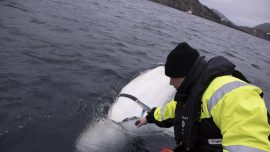 Possible Russian Spy Whale Defects to Norwegians