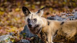 African Painted Dog Killed by Collapsing Gate at Zoo Miami