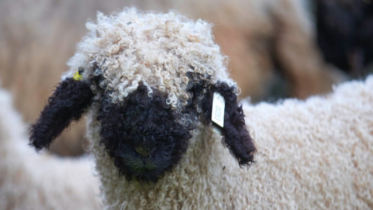 Valais Blacknose sheep 1