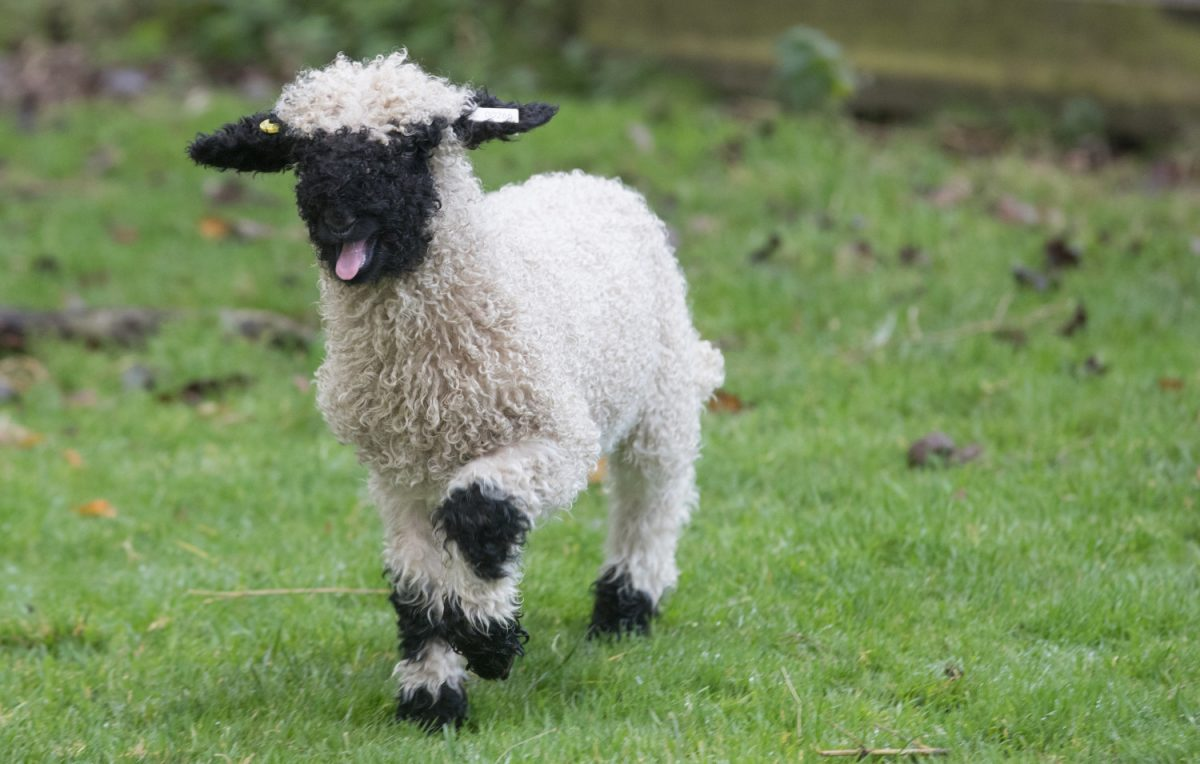 Valais Blacknose sheep 2