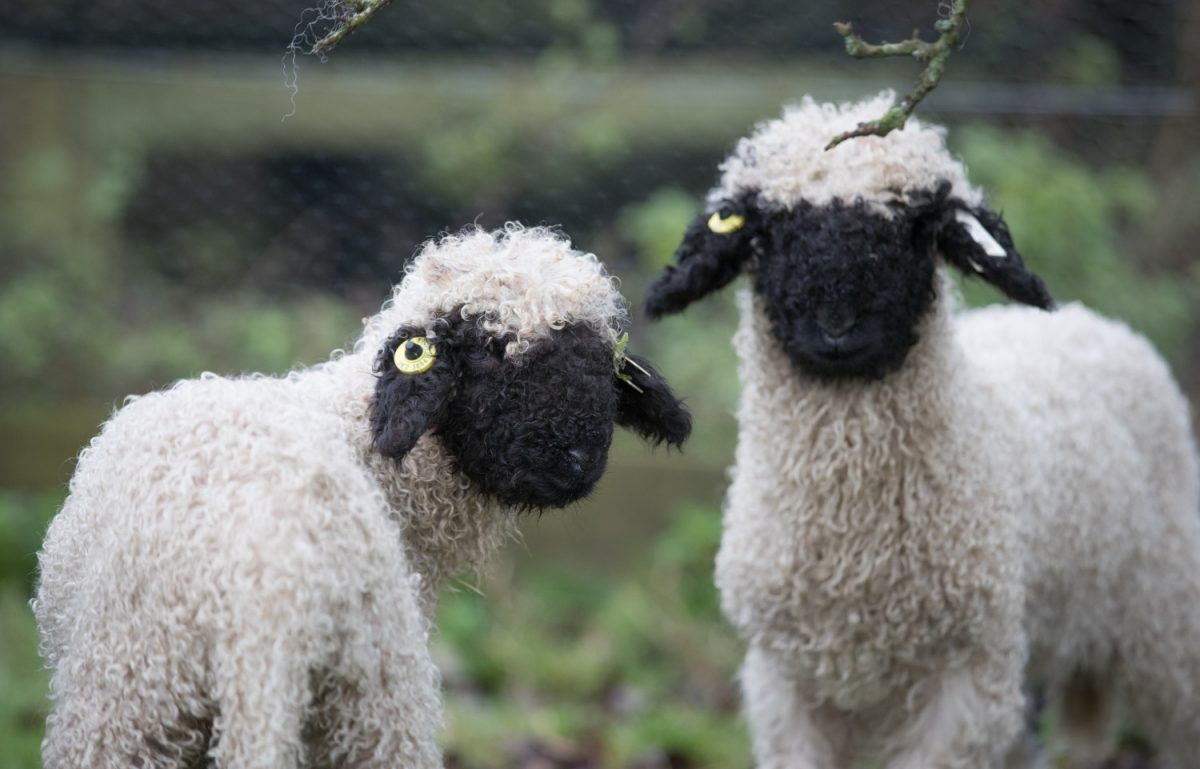 Valais Blacknose sheep 3
