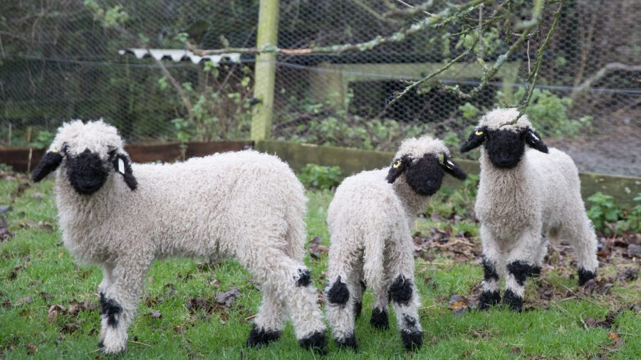 Toy-Like Valais Blacknose Sheep Rightfully Dubbed the 'World's Cutest'
