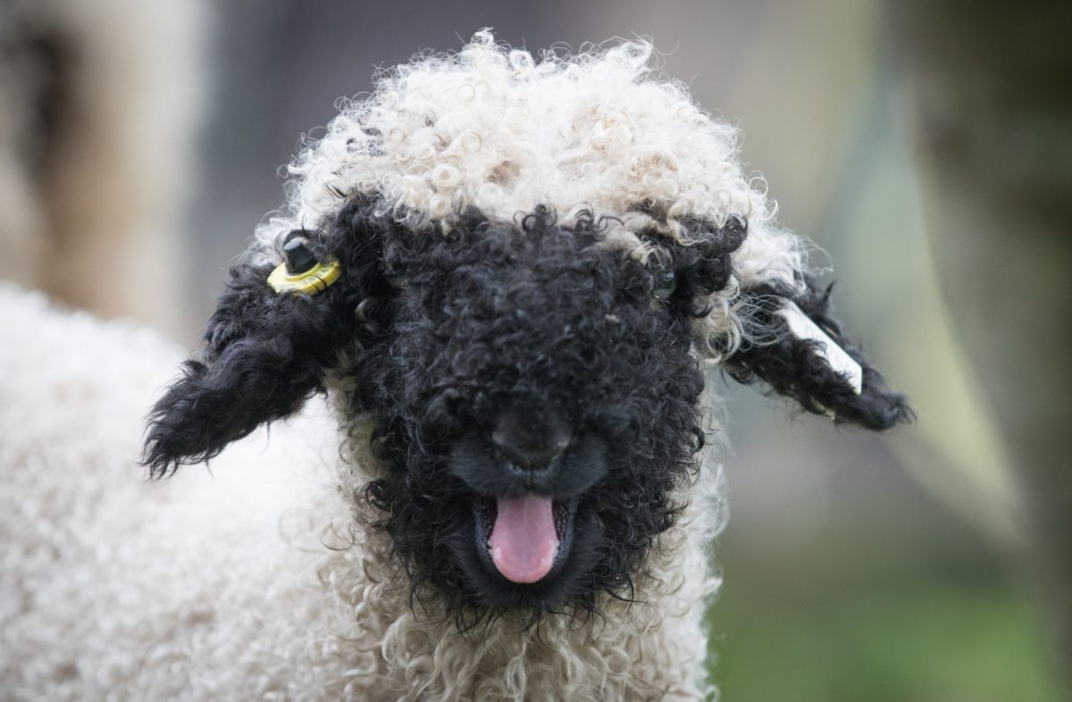 Valais Blacknose sheep 6