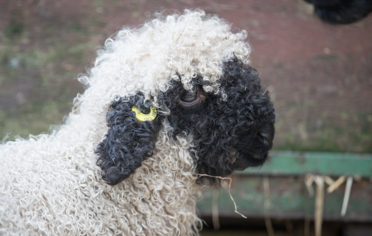Valais Blacknose sheep 9