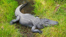 Biologist Explains Surge in Deadly Alligator Attacks After Gators Seen Eating Body