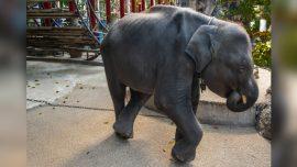 Baby Elephant 'Dumbo' Dies After Breaking His Legs at Thai Zoo