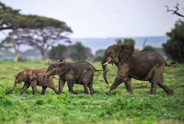 Elephant calves playing at the Amboseli game reserve