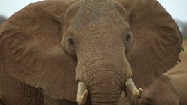 Elephant Smacks Girl in the Face Then Tries to Take Her Cell Phone: Video