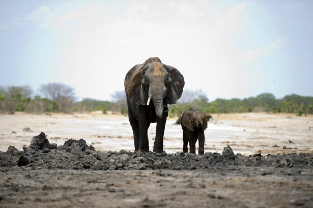 An African elephant and her baby in Hwange National Park