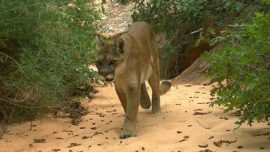 Boy, 4, Recovering From Mountain Lion Attack in San Diego Nature Preserve