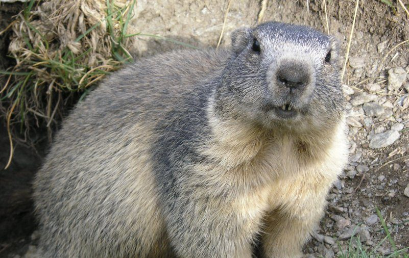 Mongolian Couple Died of Plague After Eating Raw Marmot