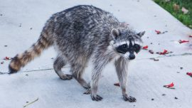Police Warn Pet Owners About 'Zombie Raccoons' With Distemper Disease