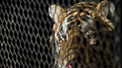 Owner of Tiger Found in Abandoned Houston House Charged