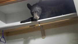 Bear Breaks Into Home 'Looking for the Bear Necessities,' Gets Stuck Inside and Takes a Nap