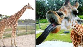 Two Giraffes Die in Freakish Southern Florida Lightning Storm