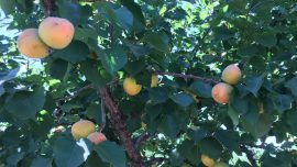 Apricot Orchard Struggles to Keep Its Roots in Tech City
