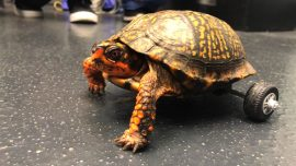This Turtle Lost Both His Back Legs so Vets Built Him a Very Fancy Wheelchair