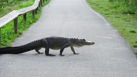 Massive Alligator Survives Hit by Semi-Truck Only to Be Put Down