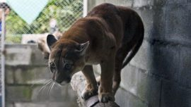 Cougar Attacks Child in Park, Family Dogs Come Running After It