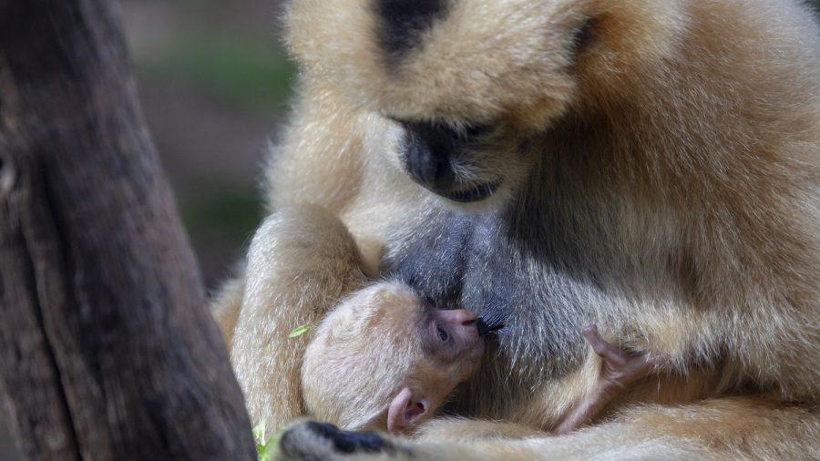 Extremely Rare Gibbon Born at Perth Zoo