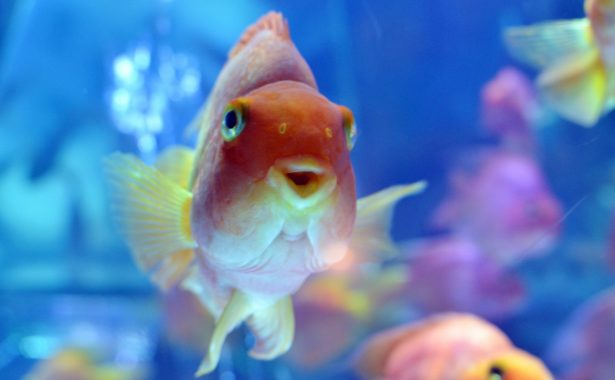 'Don't Flush Your Goldfish': Massive Goldfish Found in River Prompts Warning