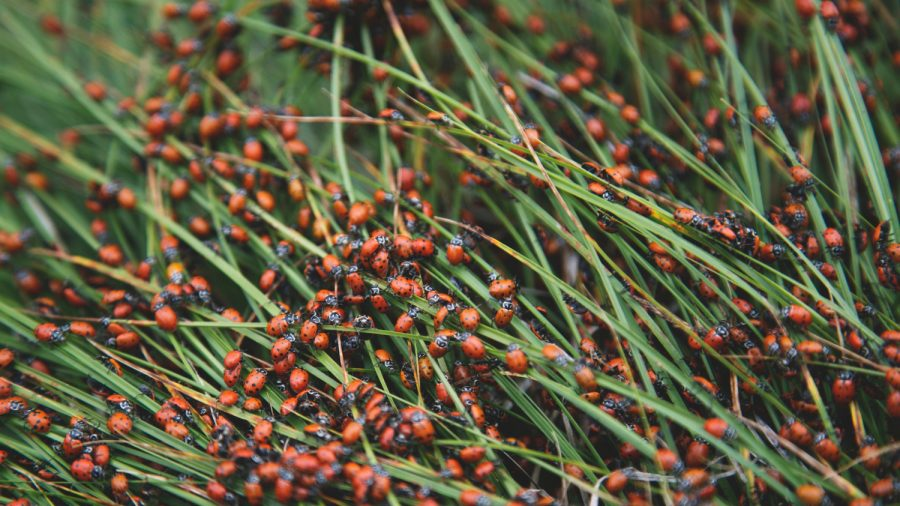 80-Mile-Wide Ladybug Swarm Shows up on National Weather Service