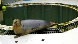 Study Shows Seal Singing 'Twinkle Twinkle Little Star'