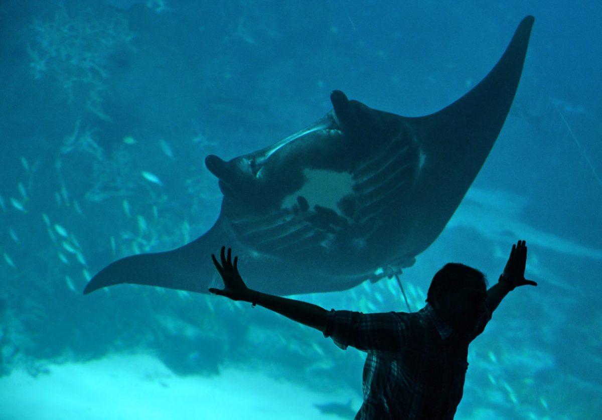 stingray in aquarium tank