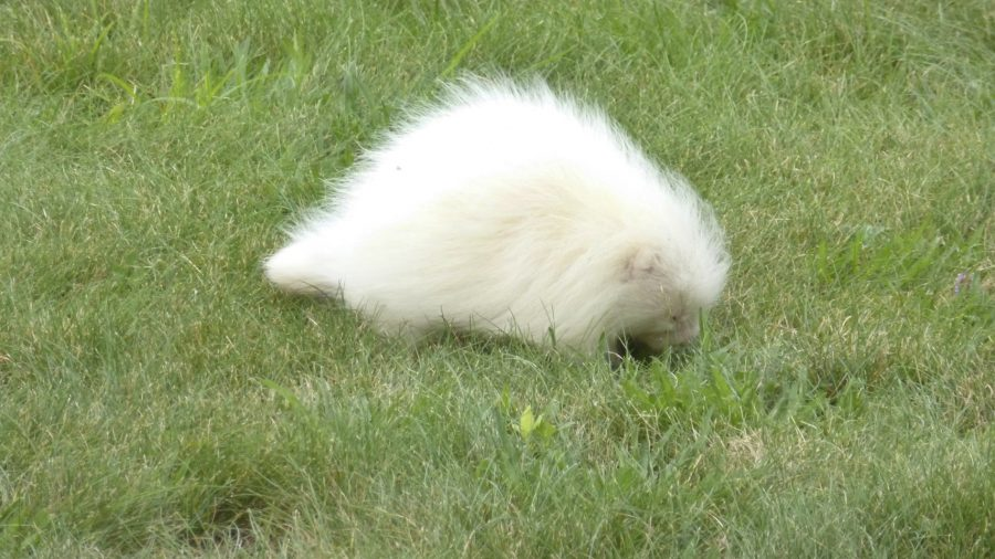 All-White Creature Identified as Rare Albino Porcupine