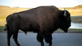 Video: Girl Tossed in Air After Bison Charges Yellowstone Tourists