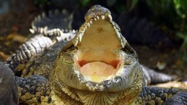 Crocodiles Ate a Missing Toddler Alive Leaving Behind Only the Skull