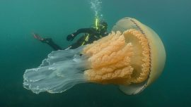 Giant Jellyfish the Size of a Human Spotted by Divers Off English Coast