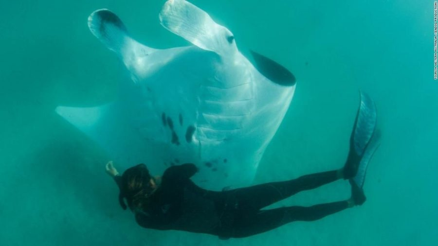 Manta Ray Filmed Seeking Help From Divers in Remarkable Underwater Encounter