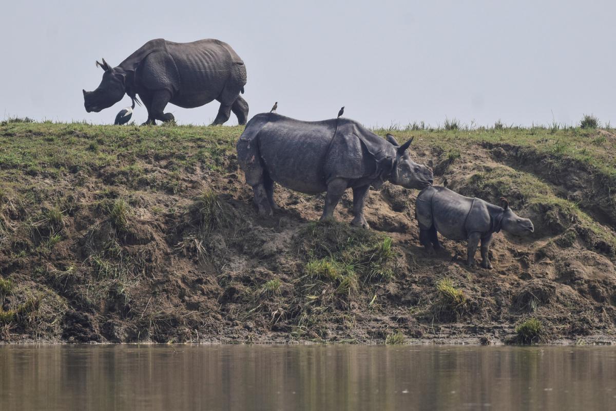 One-horned rhinos 2