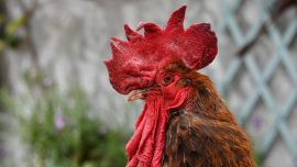 Maurice the Rooster in the Dock in Divisive French Trial