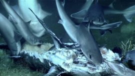 A Shark Was Swallowed Whole During a Rarely Seen Deep-Sea Feast