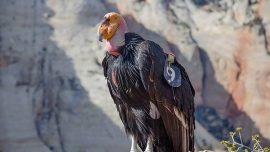 The 1,000th California Condor Has Hatched in a Victory for the Species That Nearly Went Extinct