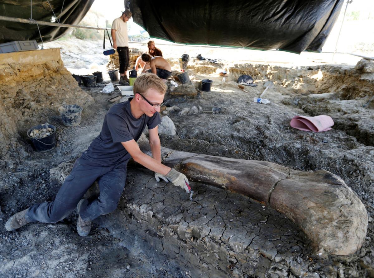 A man inspects the femur of a Sauropod