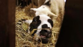 Award-Winning Lamb Under Investigation After Testing Positive for Drugs
