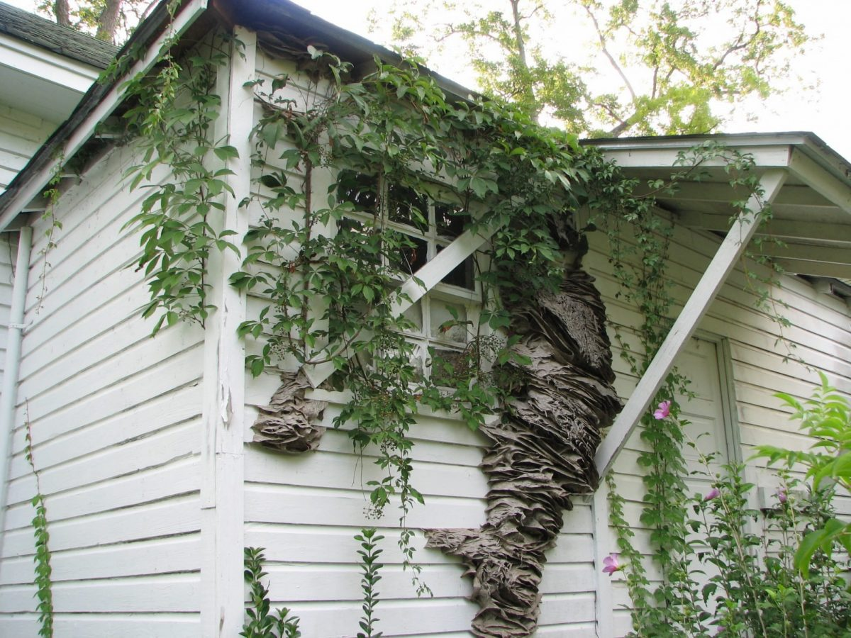 The perennial yellow jacket nests