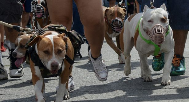 People march with their pitbull terrier dogs in support of their animals