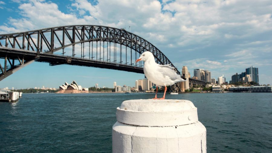 Seagulls carry superbug threat to humans