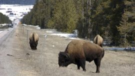 Yellowstone Officials Warn of Dangerous Behavior With Bison