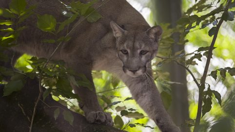Stumbling Panthers Caught on Video Possibly Poisoned Say Florida Officials